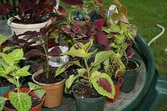 Baby Coleus plants