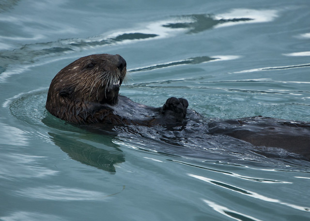 Sea Otter in Valdez Harbor