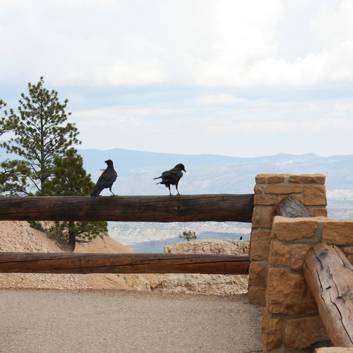 Ravens at Bryce