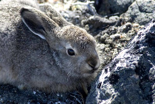 baby arctic hare