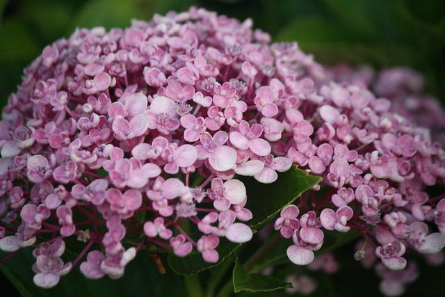 Lilac-y hydrangeas?