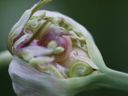 Garlic scape flower