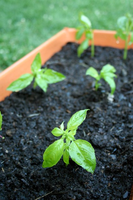 plant_basil