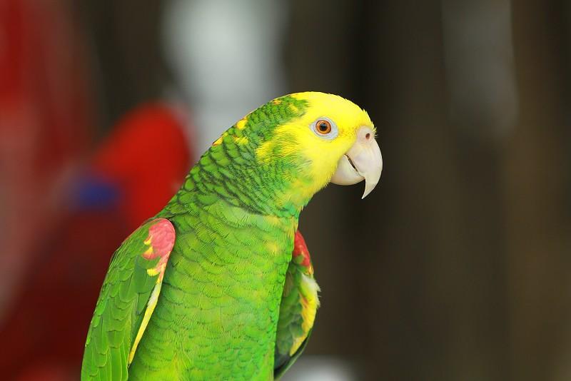 【小黃·鸚鵡】小黃帽鸚鵡 – TouPeenSeen部落格