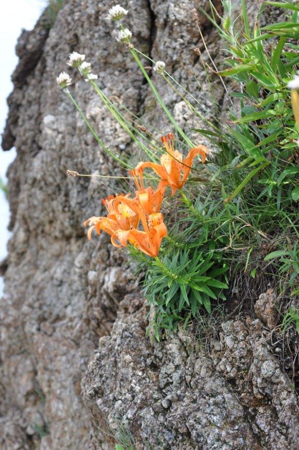 岩肌に咲くイワユリ(岩百合)