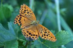 新治市民の森のツマグロヒョウモン(♀)(Butterfly, Niiharu Community Woods)