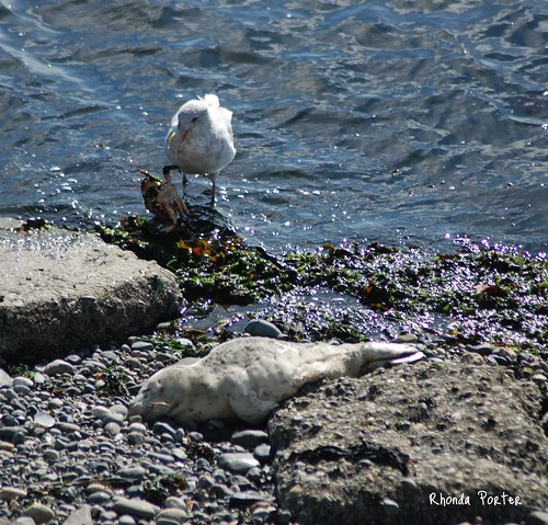Seagull with Crab and sleeping Seal Pup