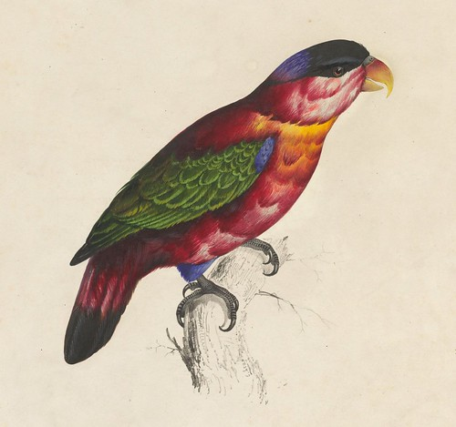 Black-capped lory, hand-coloured lithograph