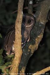 Sooty Owl (Tyto tenebricosa)