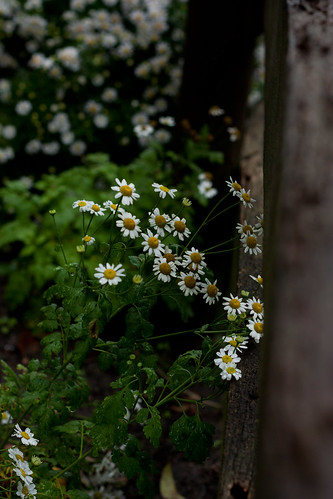 the flowers and the fence