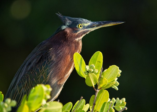Little Green Heron portrait