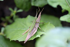新治市民の森のオンブバッタ(Grasshopper, Niiharu Community Woods)