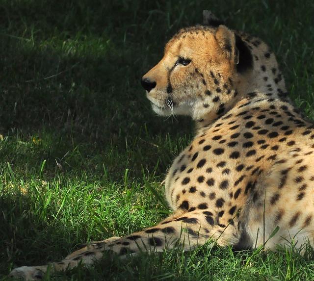 Cheetah Fort Worth Zoo