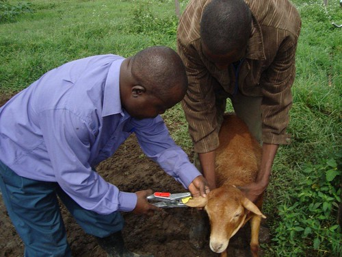 James Audho tagging a study animal