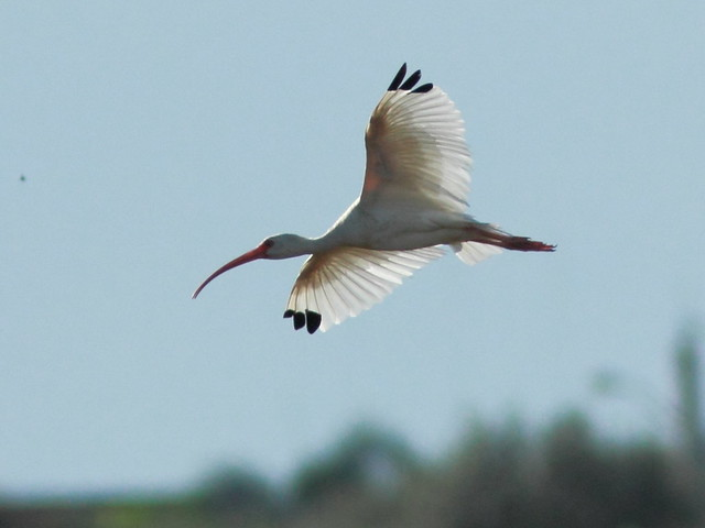 White Ibis in flight 20110925