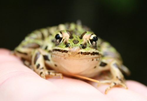 Northern Leopard Frog, Rana pipiens