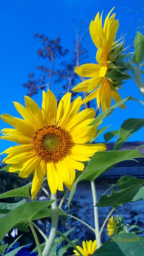 Bright Sunflowers