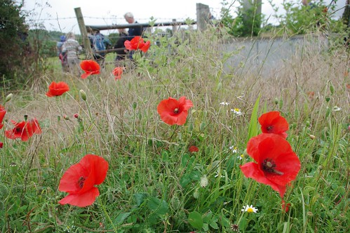 20110717-03_Field Side Poppies - Chilterns by gary.hadden