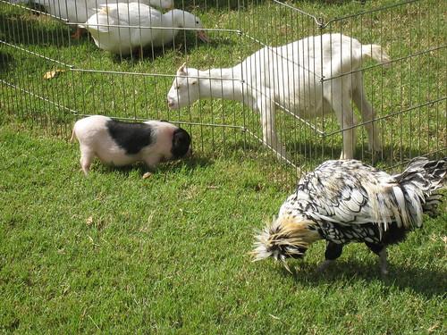 2011_10_01_Lambtown_k_piglet-goat-rooster