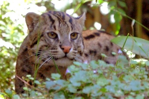 San Diego Fishing Cat in the Bushes (cropped)
