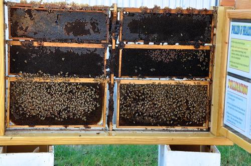 Big Red Barn Bees closeup