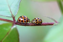 ladybugs confrontation