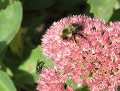 Bumble bee and fly on pink stonecrop