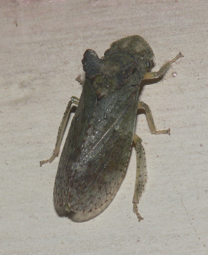 Ledra aurita (Horned leafhopper)