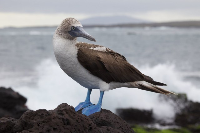 Blue-footed Booby by Ndecam, on Flickr