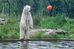 Eisbärin Frimas im Dierenrijk Mierlo bei Eindhoven