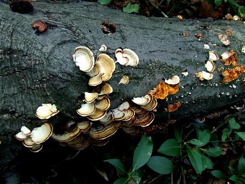 polypores on log