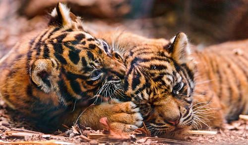 Playing cubs by Tambako the Jaguar