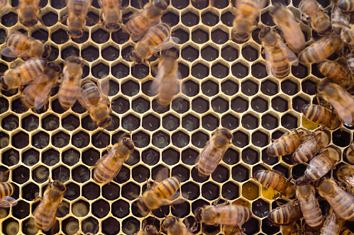 Eggs and developing brood in Knives's hive