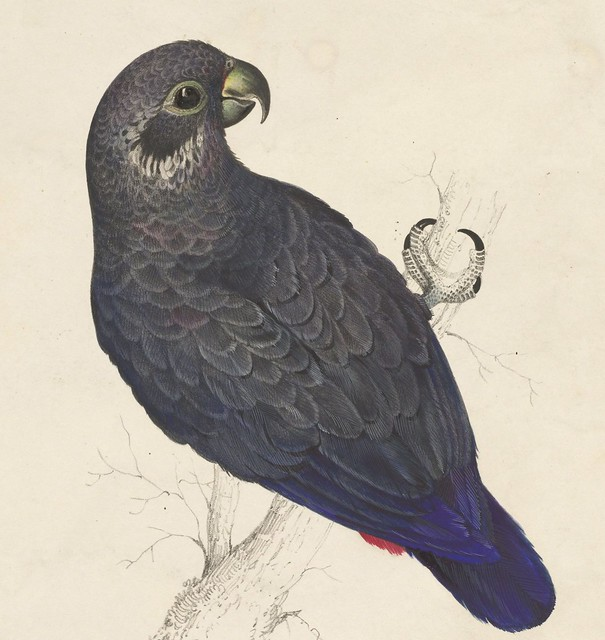 Dark blue parrot, hand-coloured lithograph