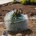 Rare beginning of a silversword blossom