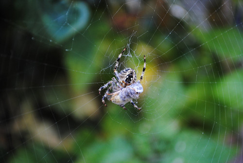 Spider eating a wasp 3