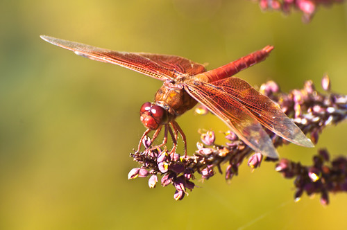 RiverPlace Dragonflies 1 of 3