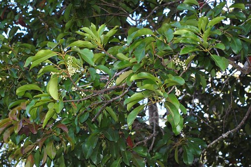 Elaeocarpus coorangooloo