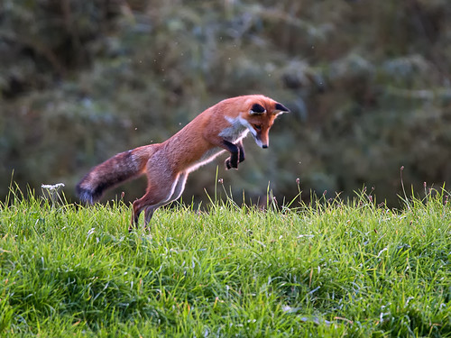 Red Fox-pouncing