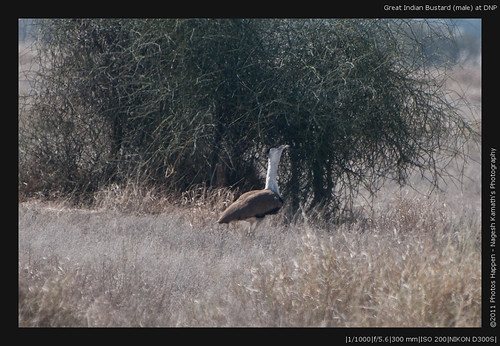 Great Indian Bustard (male) at DNP