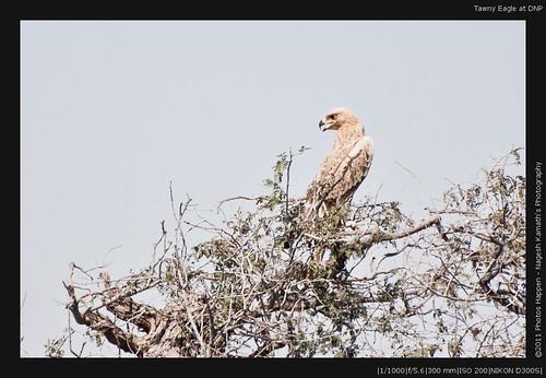Tawny Eagle at DNP
