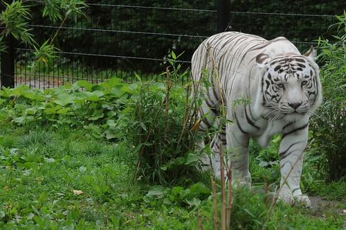 Weißer Tiger im Zoo de Maubeuge