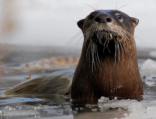 closeup of otter, shot from the front, rising up out of icy water. The otter has luscious long whiskers forming a bristly moustache and beard.