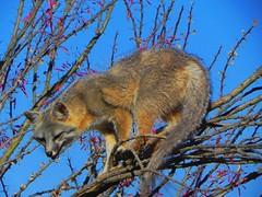 Un renard sur un arbre, a fox in the air, un zorro