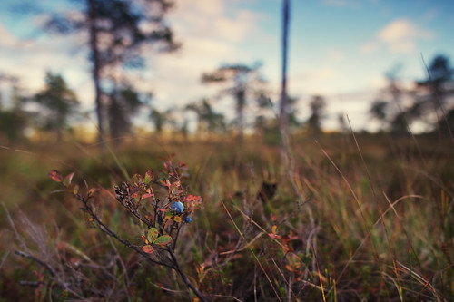 Crowberry by Isoscelez