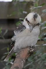 Lachender Hans im Zoo d'Amiens