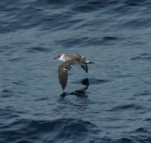 Great shearwater