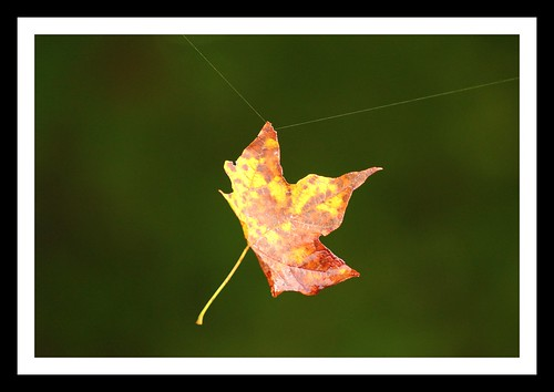 Maple Leaf On A Web