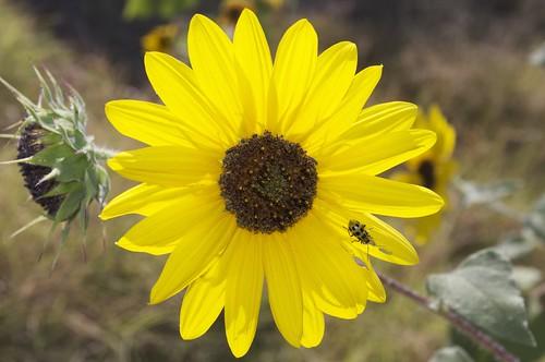 10.03.2011 Sunflowers
