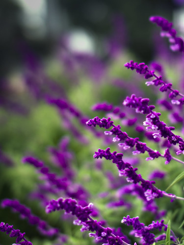 Lavender by Matt Hovey
